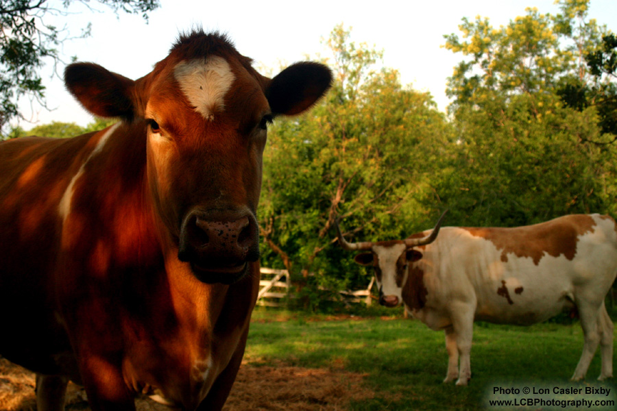 Dad's Cows - Photography by Lon Casler Bixby - Copyright - All Rights Reserved - www.LCBPhotography.com